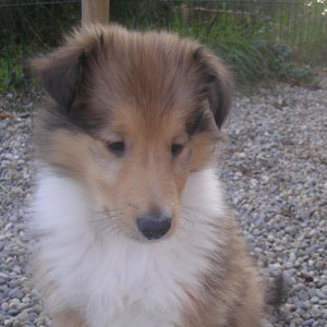 Cachorro de Collie Rough