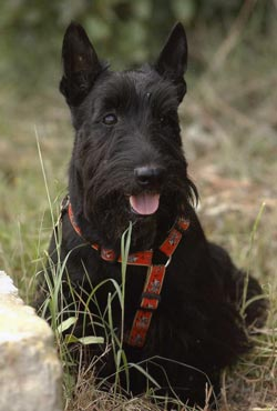 Fotos del Scottish Terrier