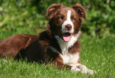 Perros Border Collie