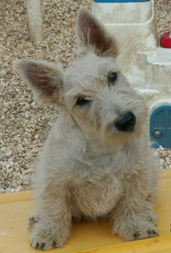 Perros Scottish Terrier