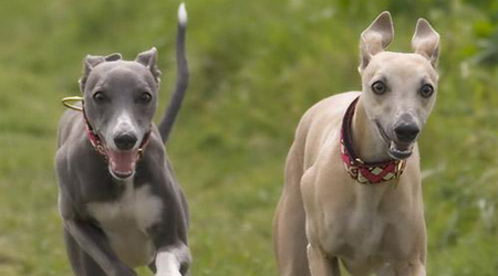 Perros Whippet