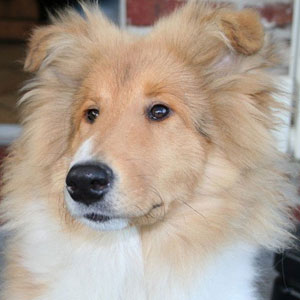 Raza Collie Rough
