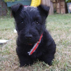 Raza Scottish Terrier